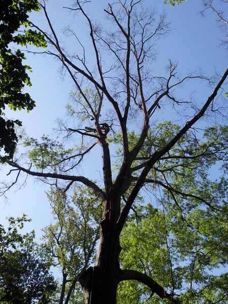Dead tree limbs may be part of a hazardous tree assessment.