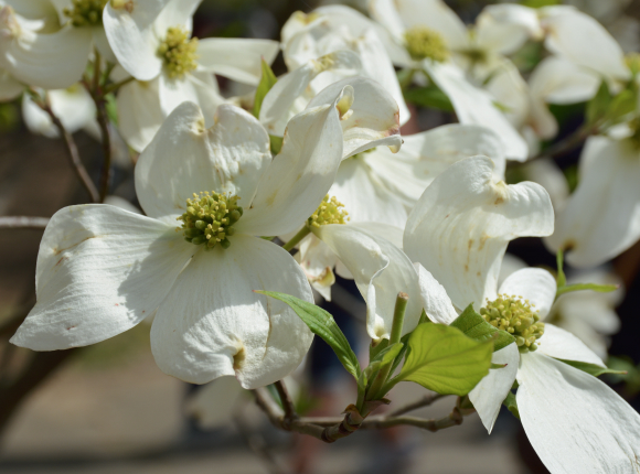 Make your plans for the Atlanta Dogwood Festival 2017