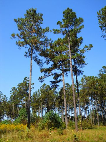 Be aware of southern pine beetles in your trees.