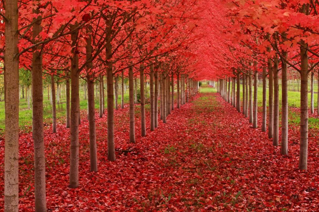 Maple trees in Oregon.